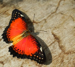 Butterfly in orange and black
