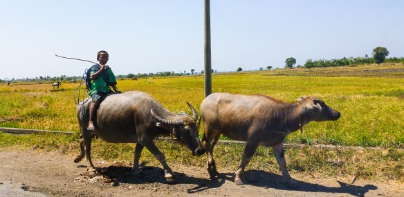 2 buffalos