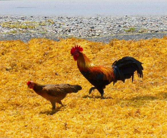 2 chickens
