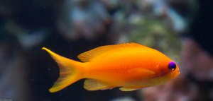 another orange fish
