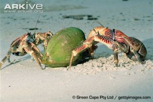 Two-coconut-crabs-opening-coconut-on-beach